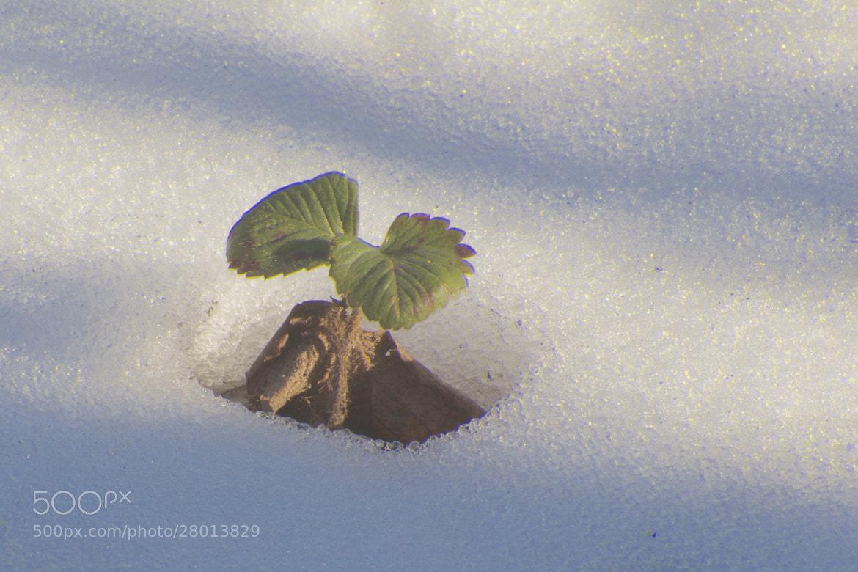 Photograph Erdbeerschnee by Gerhard Merz on 500px