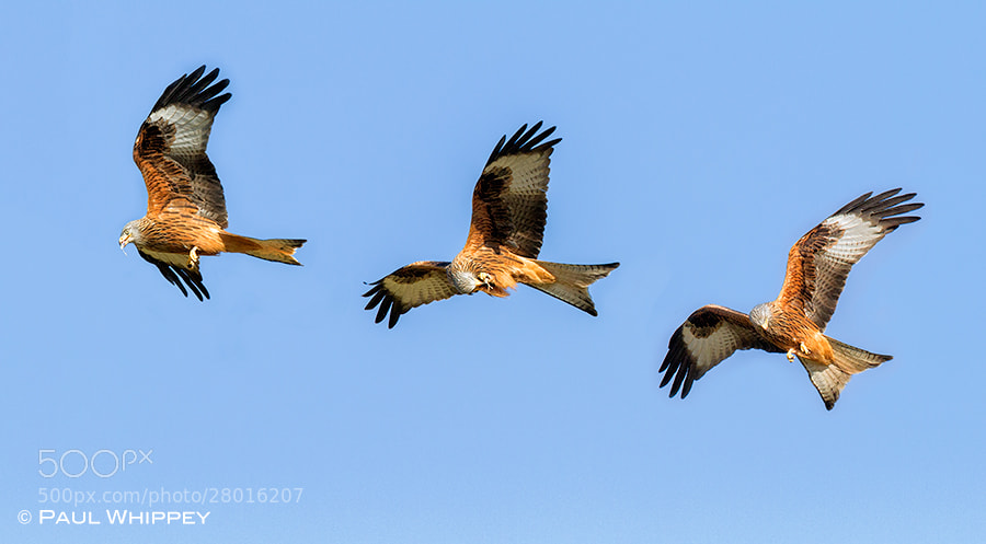Photograph Red Kite feeding in flight by Paul Whippey on 500px