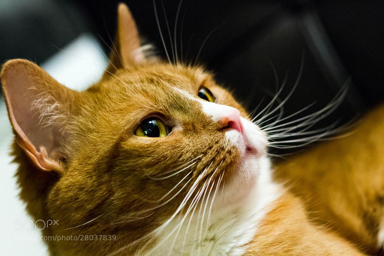 Photograph Cat Portrait by Ash Furrow on 500px