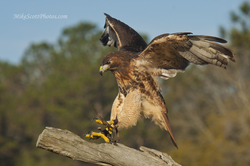 Photograph Incoming Redtail by MikeScottPhotos  on 500px