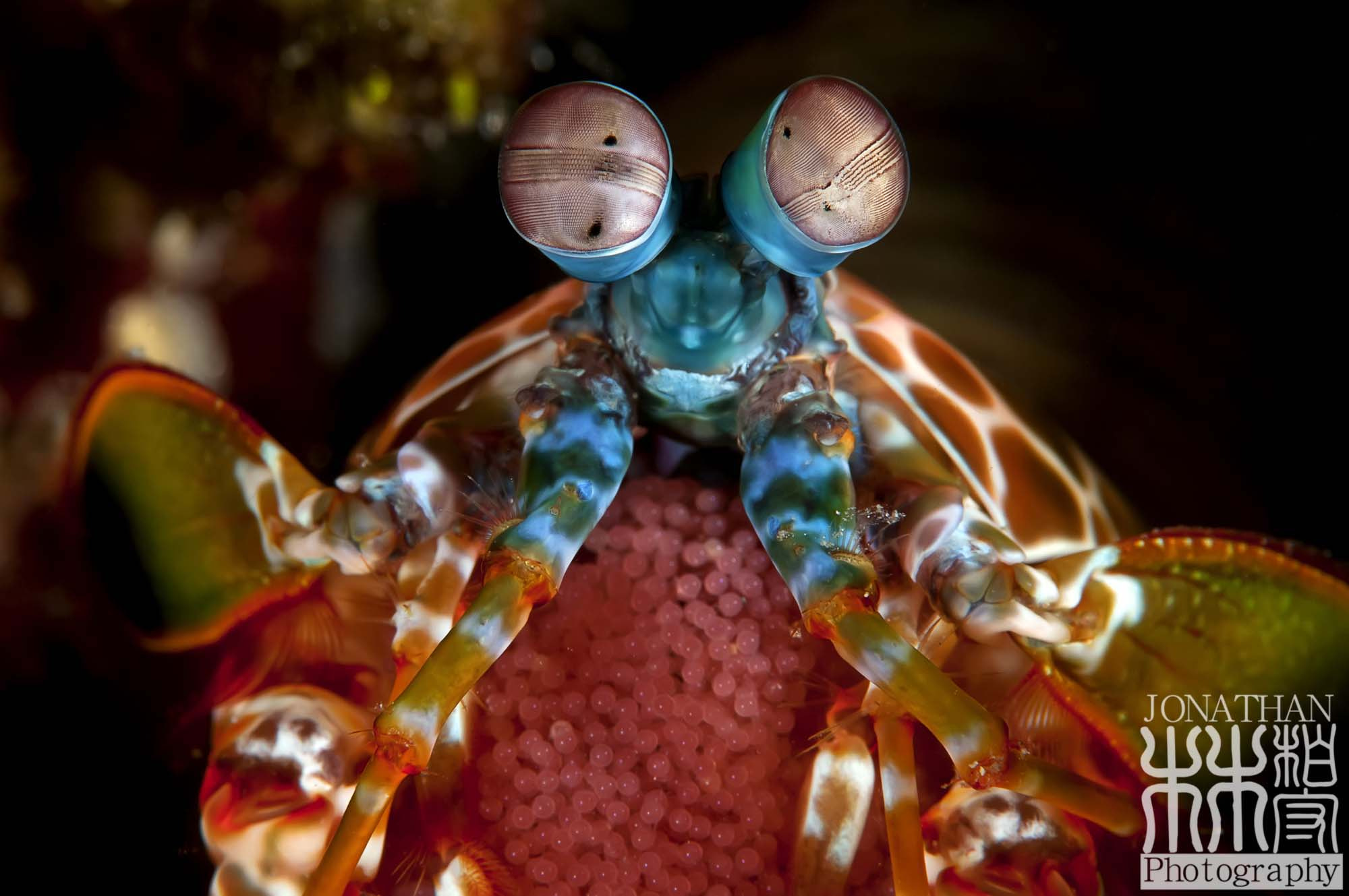 Photograph Peacock Mantis Shrimp with Eggs by Jonathan Lin on 500px