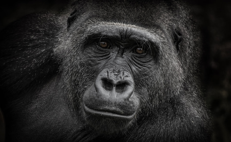 Female gorilla at Bristol zoo by Arnau Bolet on 500px.com