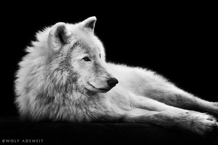 Photograph lying arctic wolf by Wolf Ademeit on 500px