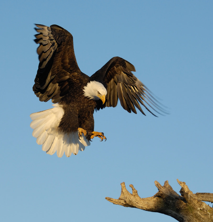 Bald Eagle in the early morning light on a cold but beautiful day just before touchdown on a perch at the beach of Kachemak Bay. Homer Spit, near Homer in Alaska.  Best regards and have a nice weekend,  Harry