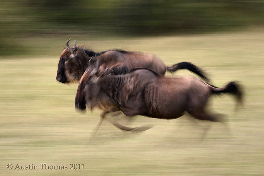 Photograph Wildebeest running by Austin Thomas on 500px