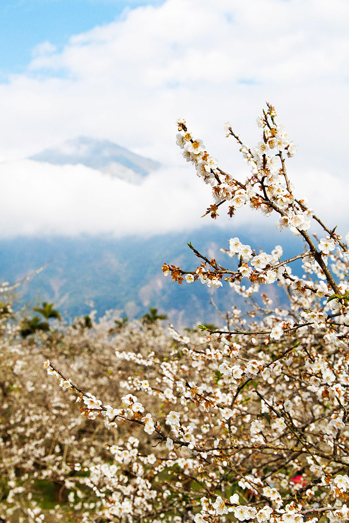 Photograph A plum blossom by 憲龍 周 on 500px