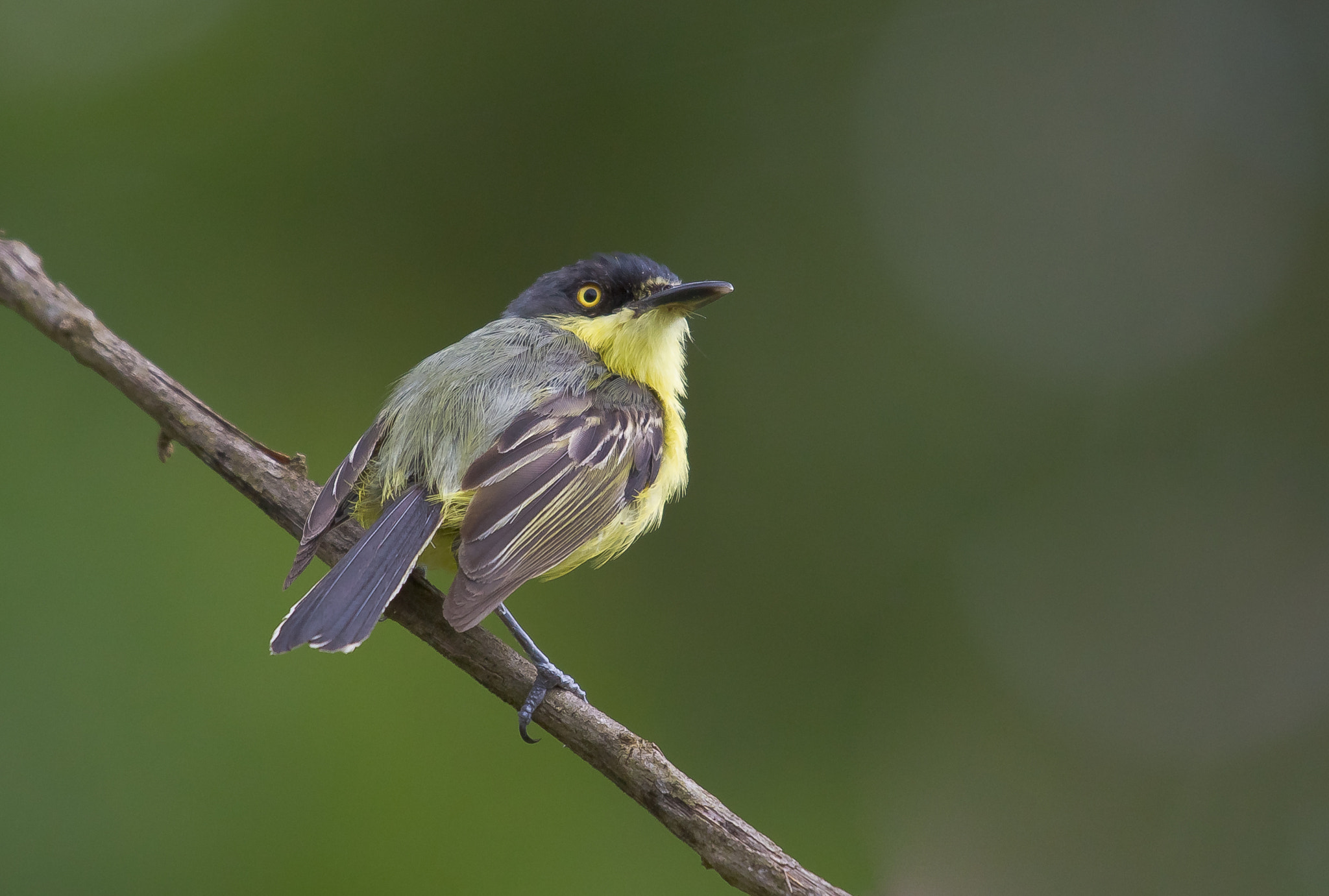Photograph Common Tody-Flycatcher (Todirostrum cinereum) by Bertrando Campos on 500px