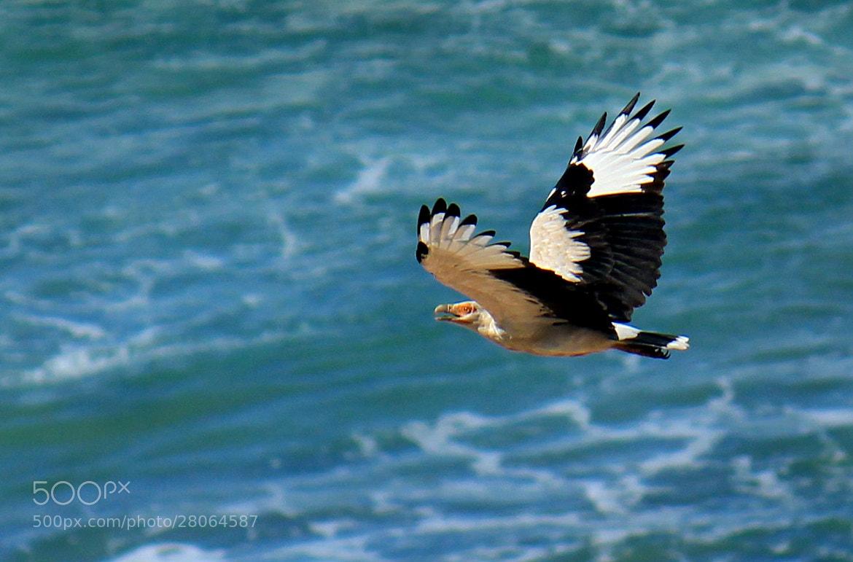 Photograph Palm- nut Vulture by Hanroe Taljaard on 500px