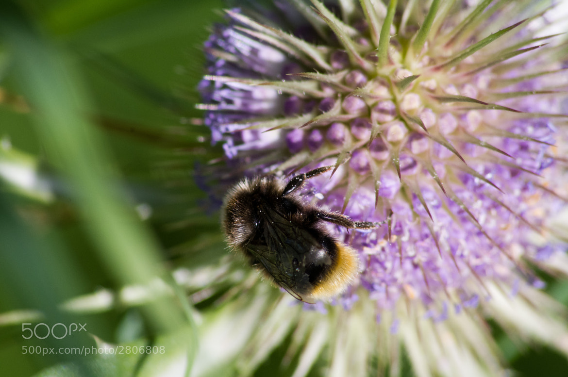 Photograph Bumblebee 2 by Thibault Drillien on 500px