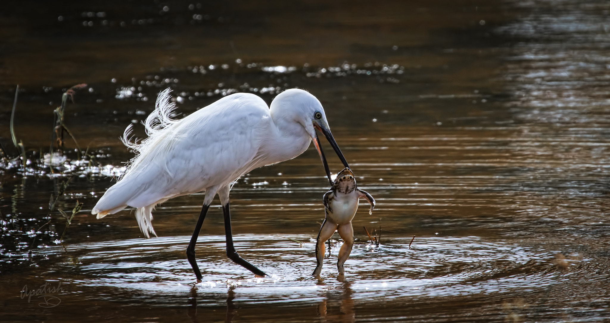"Photograph ""Little egret"" Large toad by Ariel Patish on 500px"