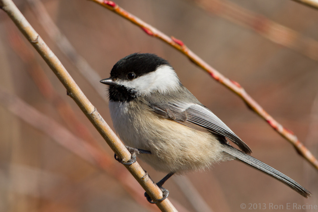 Photograph Black-Capped Chickadee by Ron E Racine on 500px