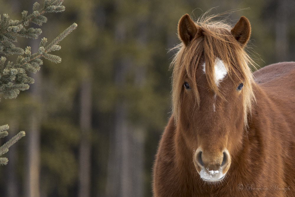 Photograph wild horse by Brenda Viragh on 500px