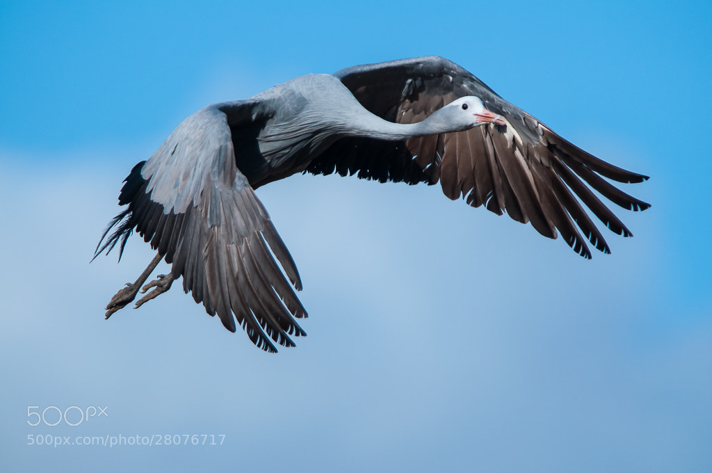 Photograph Blue Crane by Bridgena Barnard on 500px
