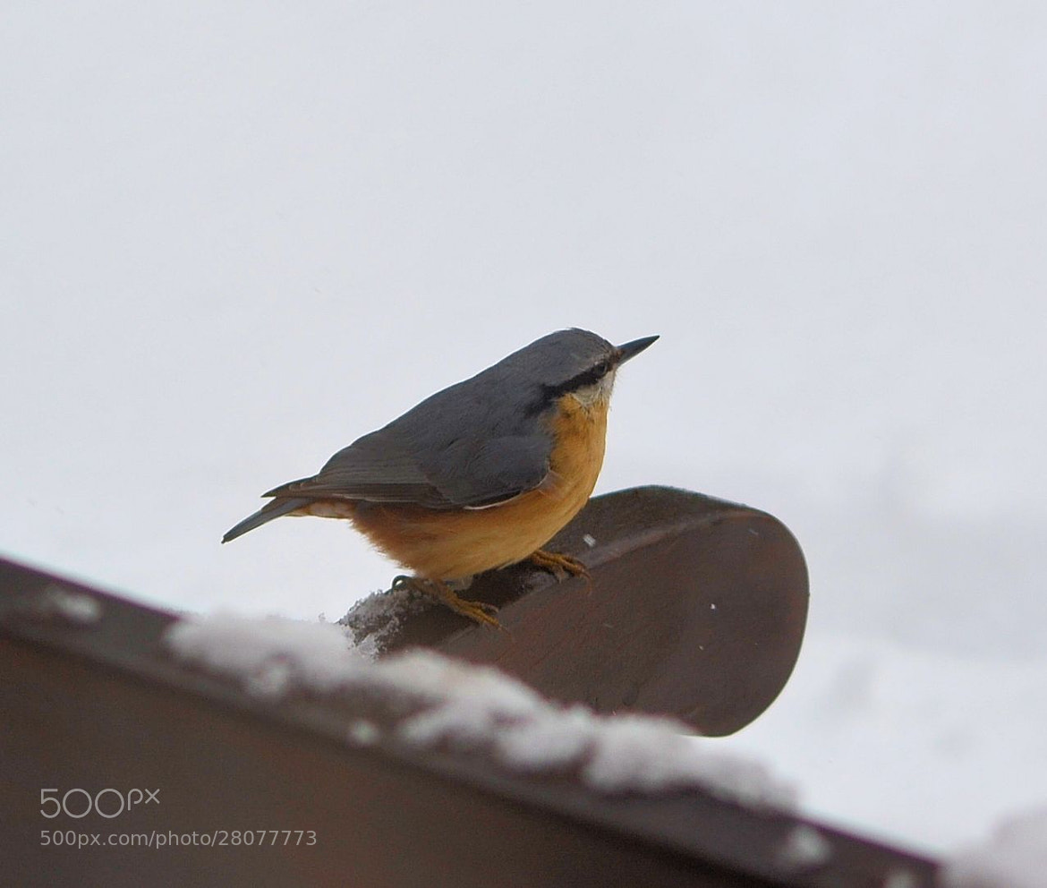 Photograph Nuthatch by Heather Aplin on 500px
