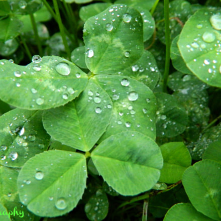 Clovers, clovers everywhere