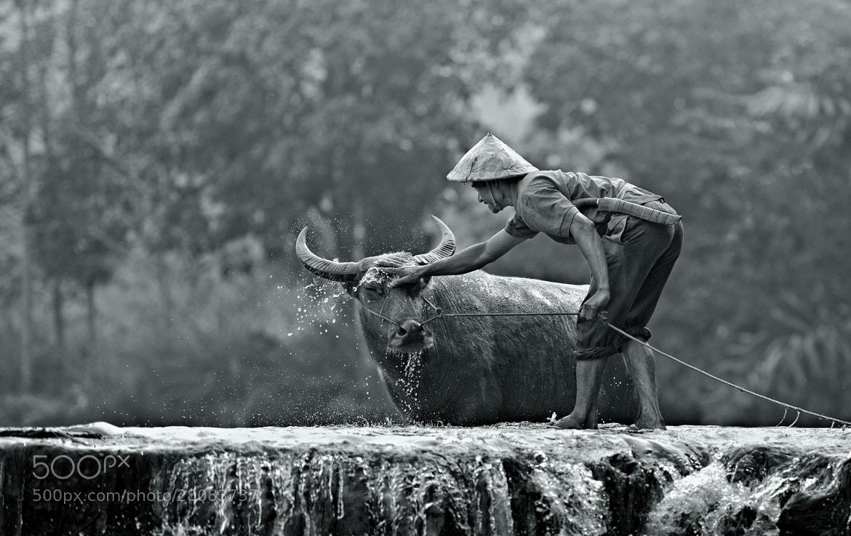 Photograph water buffalo by Yaman Ibrahim on 500px