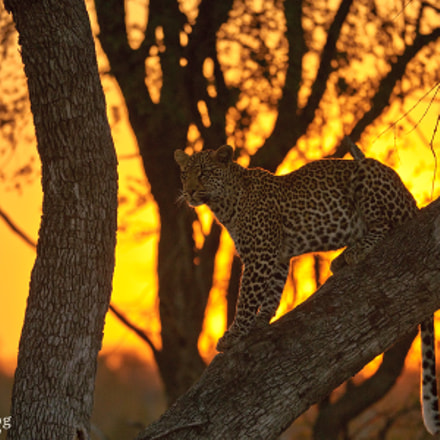 Leopard at Sunset in Tree - Sabi Sands