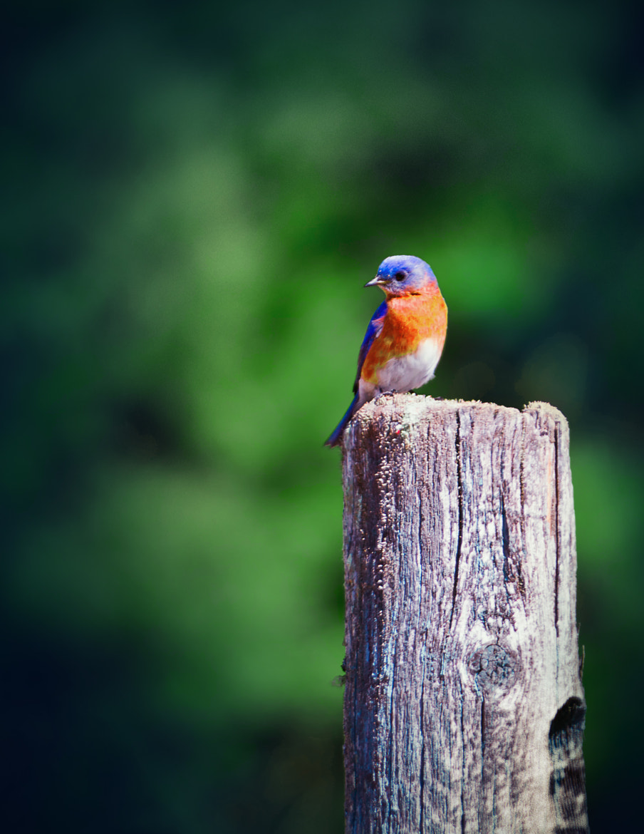 Photograph BlueBird on a Post by Nazareth 434 on 500px