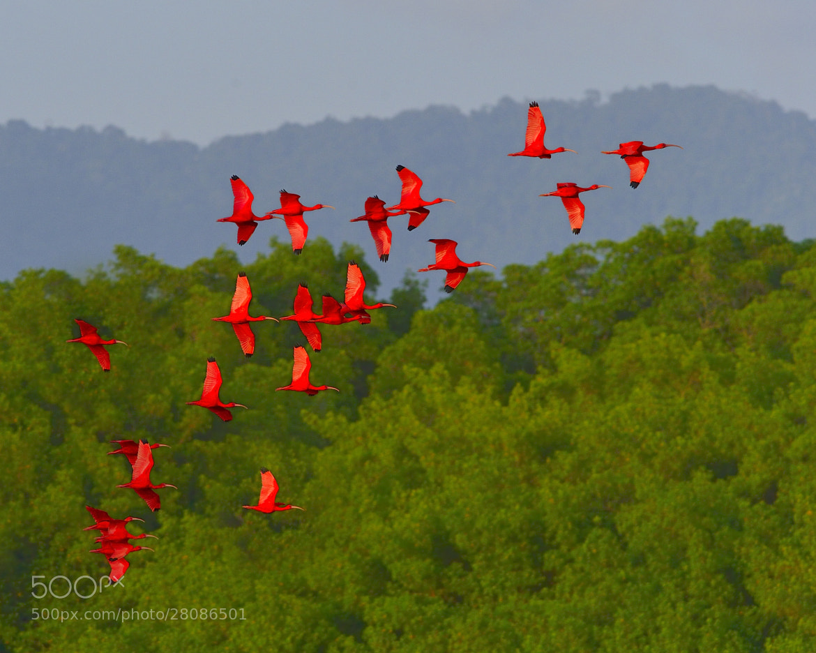 Photograph Scarlet Ibis by Tony Beck on 500px