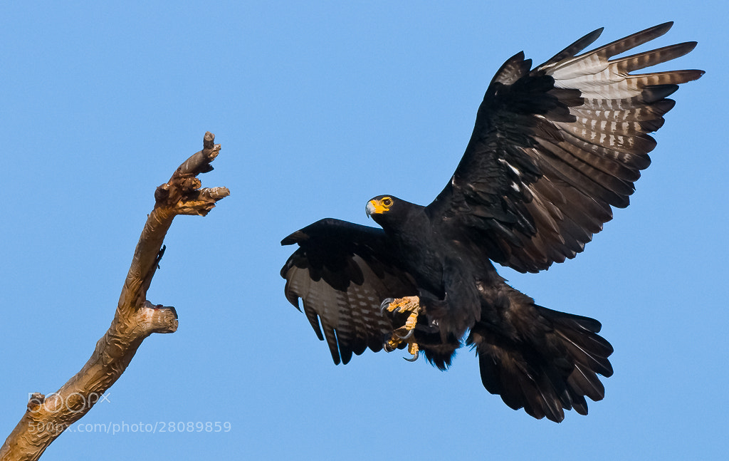 Photograph Verreaux's Eagle by Bridgena Barnard on 500px