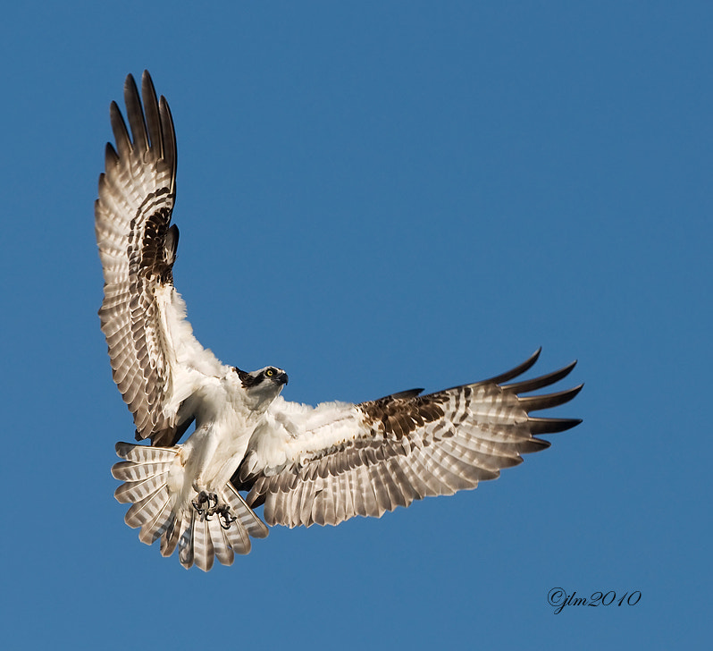This osprey image was taken at Blue Cyprus where the ospreys come each year to nest and to hae their young.  It is a paradise not only for the wonderful bird population but also for it's incredible beauty.
