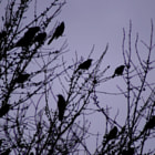 Grackles return for spring.