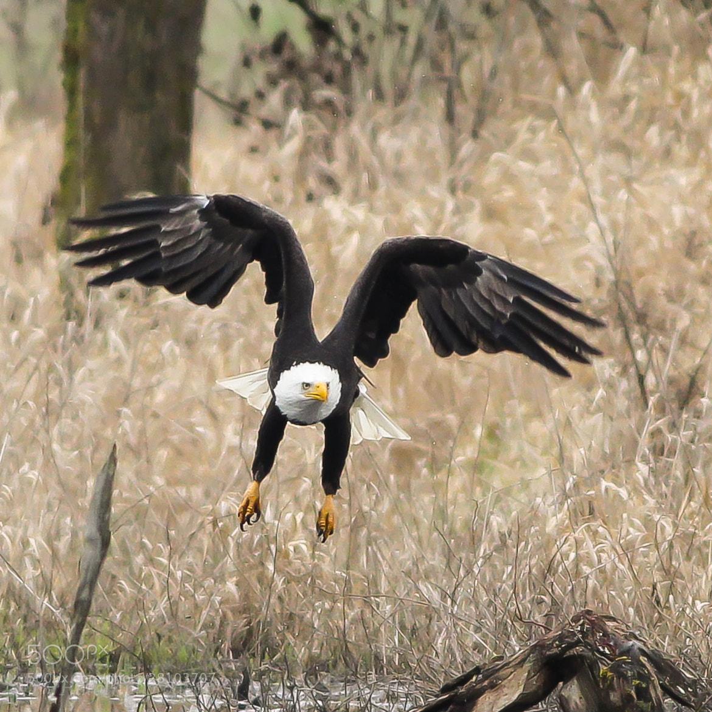 Photograph Bald Eagle by Vinnie Halpin on 500px