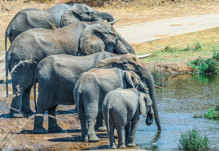 African Elephants, автор — Assaf Goldberg на 500px.com