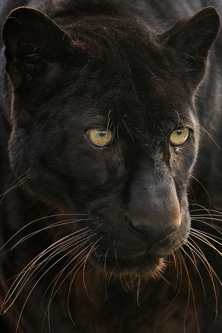 Photograph Black Panther by Josef Gelernter on 500px