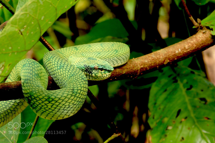 Green Pit Viper. One of my fav creatures, that was on top of my list to see and photograph...  DONE!