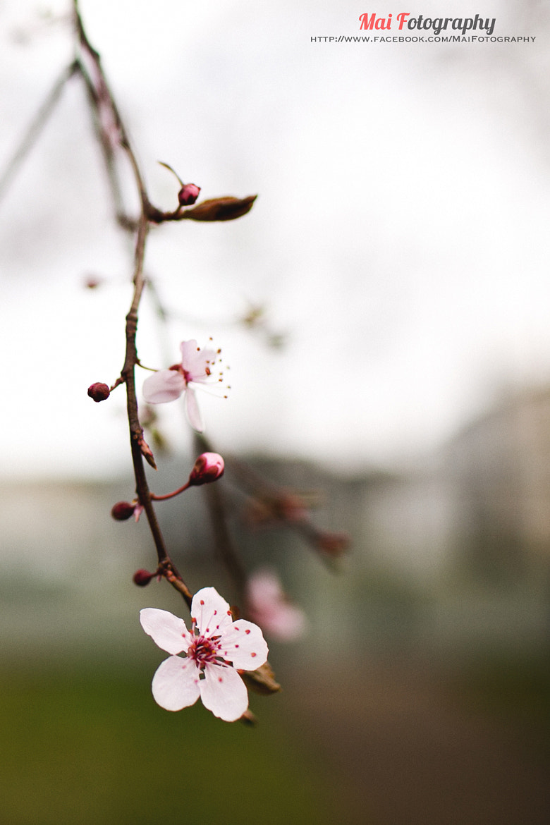 Photograph Sakura 1 by Mai Fotography on 500px