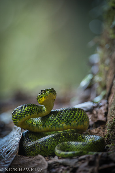 Photograph Eyelash Palm Pit Viper by Nick Hawkins on 500px