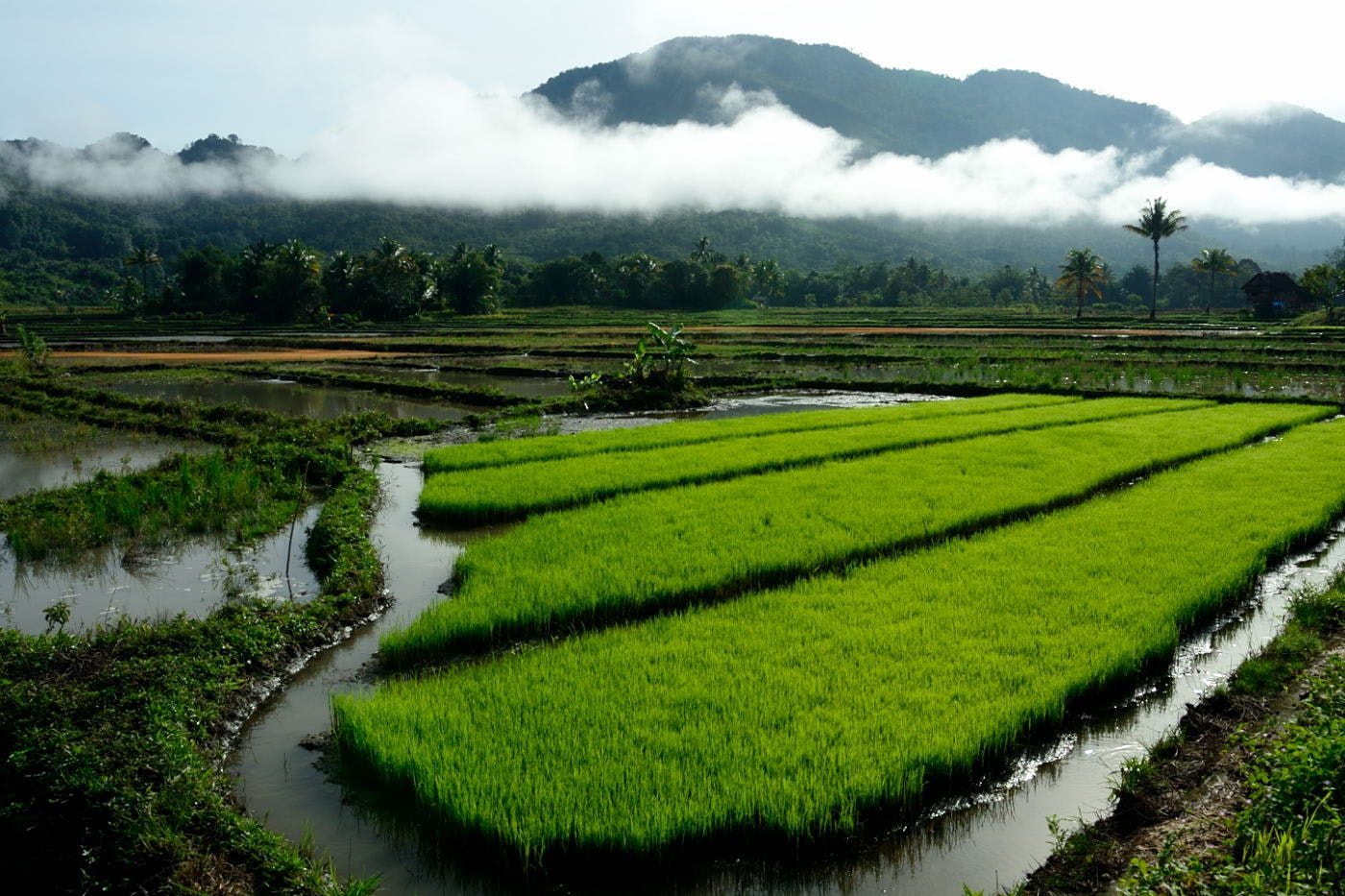 Photograph A Wonderful Morning at the Rice Field by heat larx on 500px