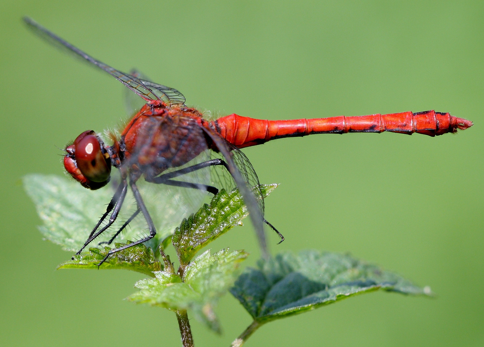 Photograph Ruddy darter by Gerard Roest on 500px