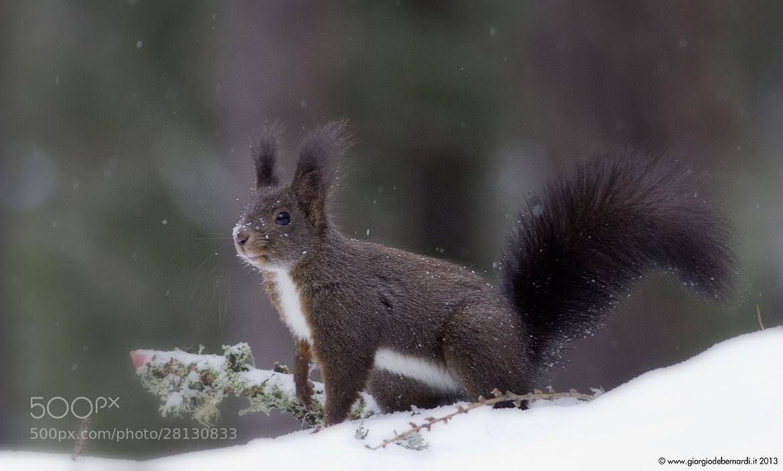 Photograph Brown squirrel by giorgio debernardi on 500px