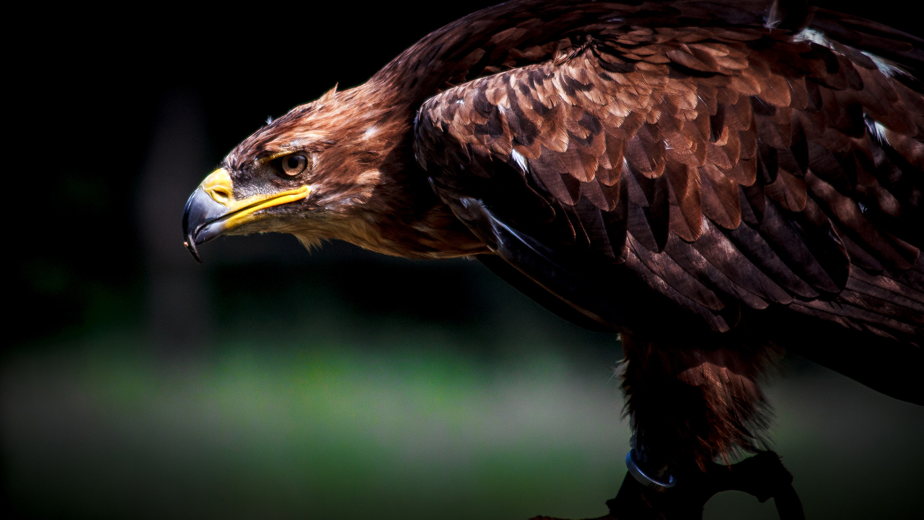 Photograph Golden Eagle by Donato Romagnuolo on 500px
