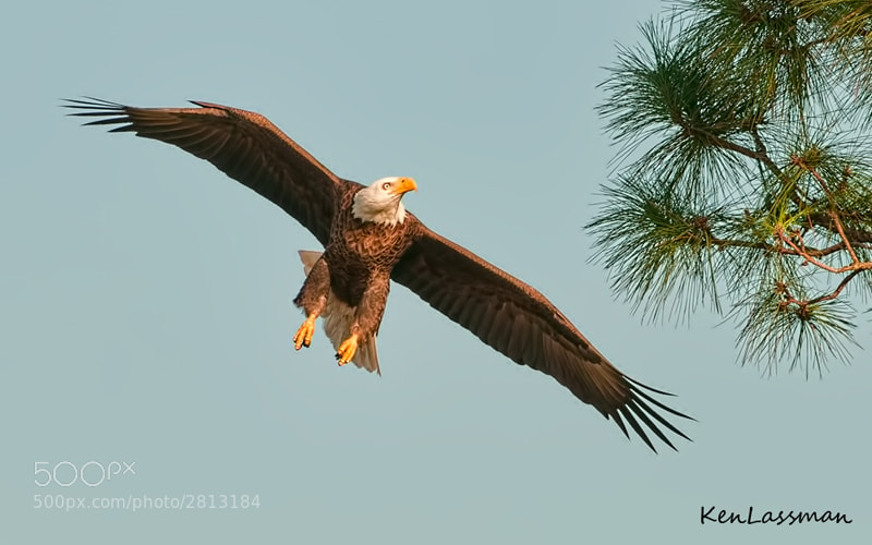 This Bald Eagle came in around a stand of trees banking with full wing spread