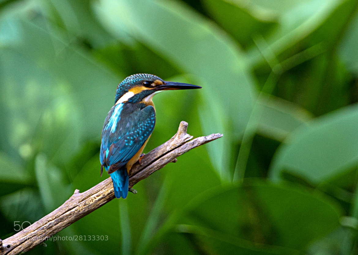 Photograph Kingfisher by  Michal De-porto on 500px