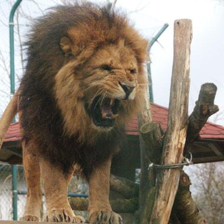 angry lion 2