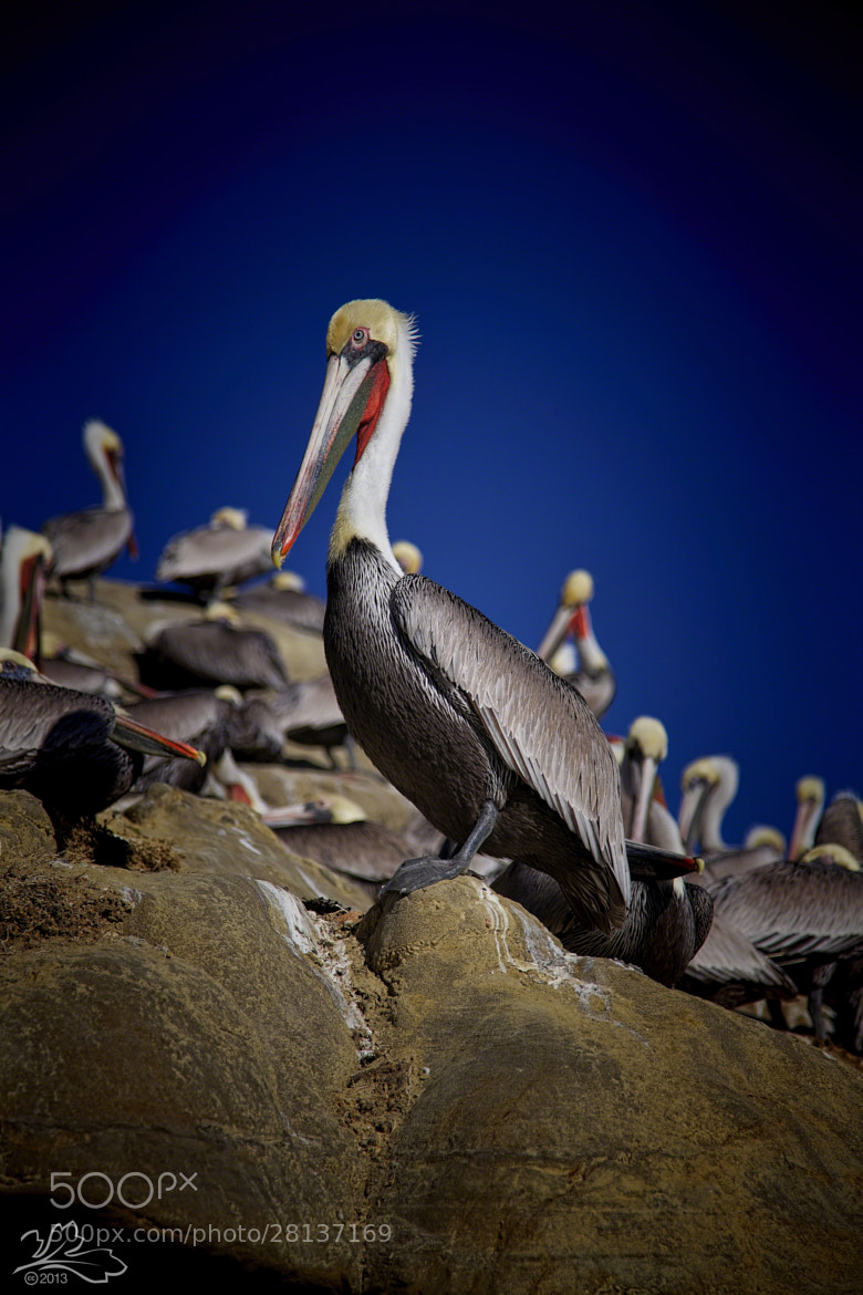 Photograph Pelicans at La Jolla Cove by Michael Darius on 500px