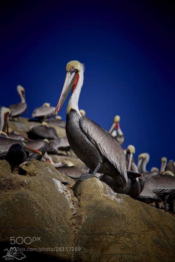 Pelicans at La Jolla Cove