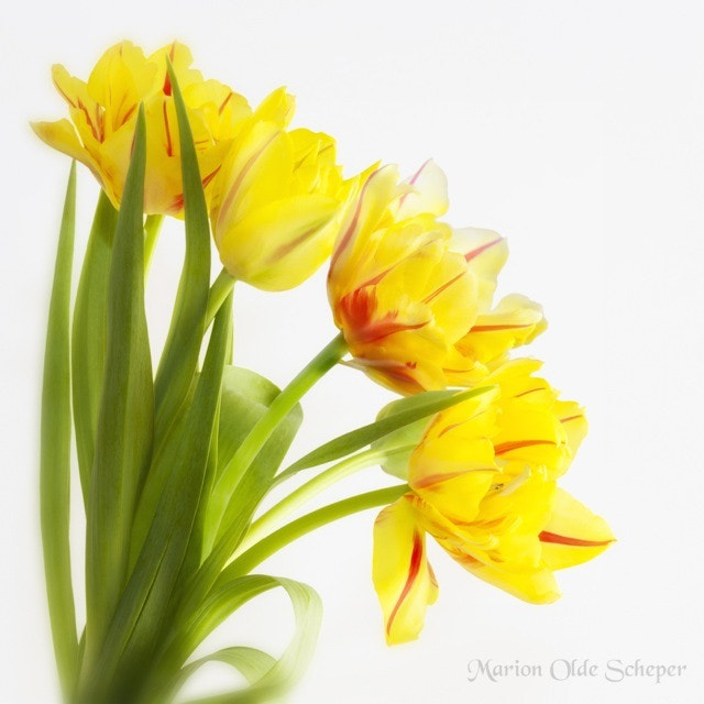 Photograph Tulips by Marion Olde Scheper on 500px