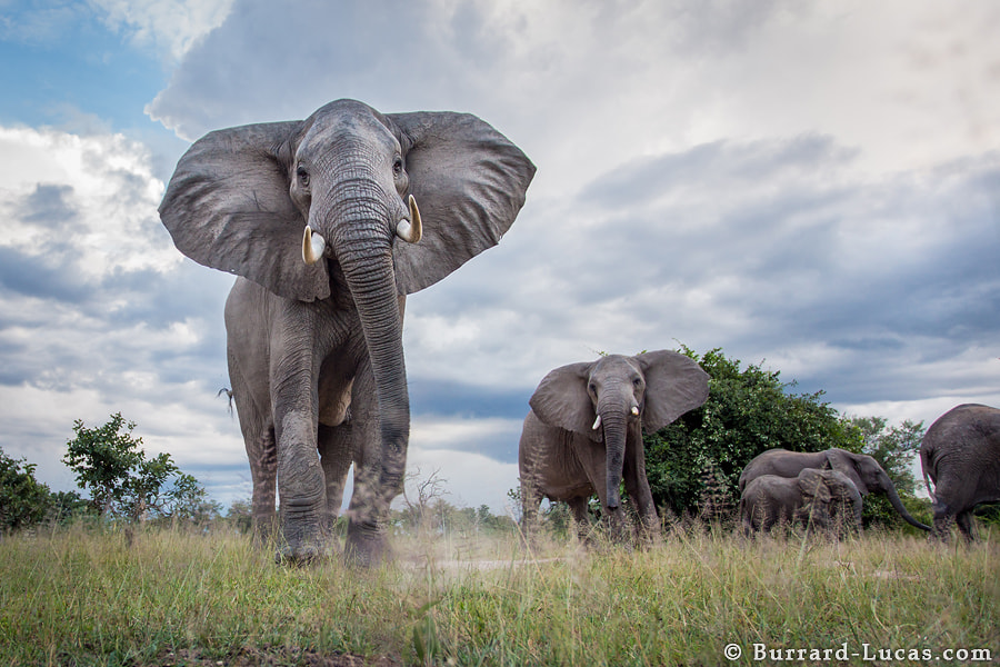Photograph Elephants by Will Burrard-Lucas on 500px