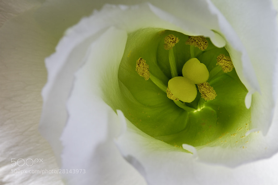Photograph Lisianthus 2 by Deen Guldemond on 500px