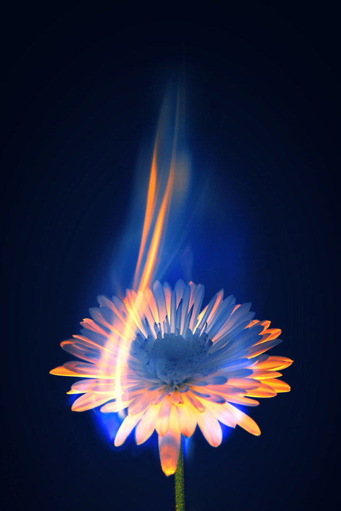 Photograph Burning flower by Sorin Petculescu on 500px