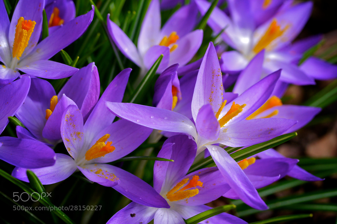 Photograph Crocus by John Purchase on 500px