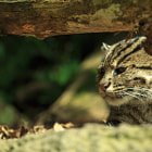 Постер, плакат: Fishing Cat
