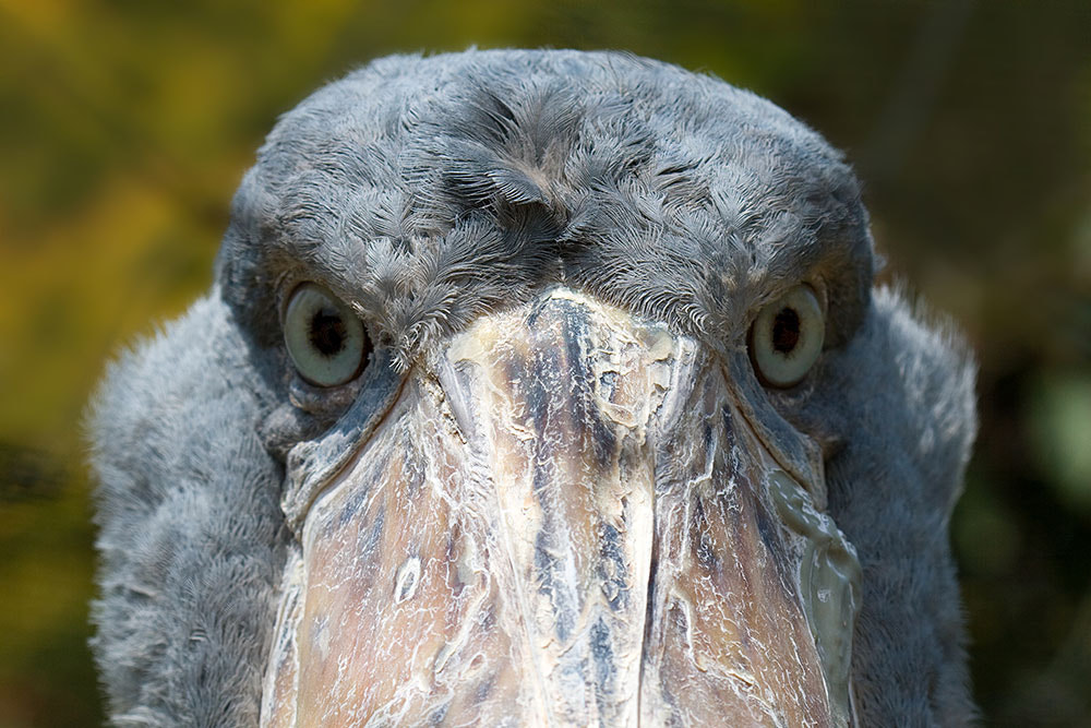 Photograph This shoebill stork hates me by Andre Nantel on 500px