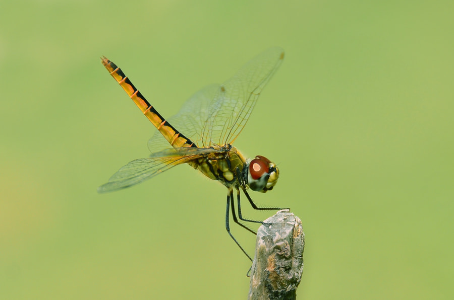 Photograph Dragonfly - 2 by Khoo Boo Chuan on 500px