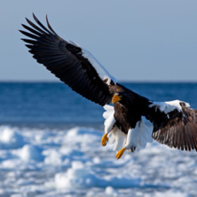 Steller's sea eagle by Akiko F (Akiko_F)) on 500px.com